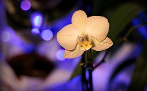 Picture Orchid, Orchid, Blur