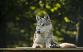 Picture wolf, lies, bokeh, by Lakela