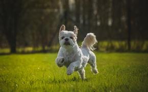 Picture each, Shih Tzu, grass, lawn, dog