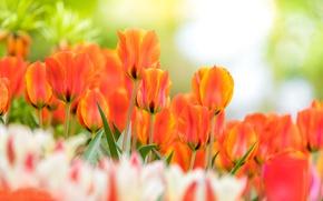 Picture tulips, buds, bokeh