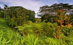 Picture greens, trees, tropics, palm trees, jungle, Hawaii, USA, the bushes