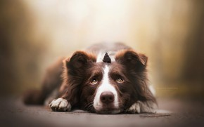 Picture look, face, butterfly, dog, bokeh, The border collie