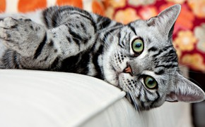 Picture cat, look, striped, American Shorthair