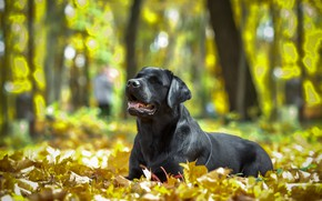 Picture autumn, leaves, nature, animal, dog