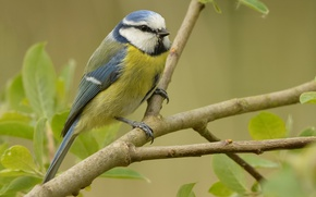 Picture nature, bird, branch, common blue tit