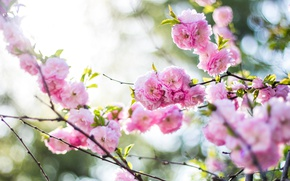 Picture flowers, nature, pink, branch, spring, Sakura, flowering