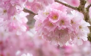 Picture pink, spring, Sakura