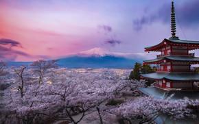 Picture Japan, Chureito Pagoda, Purple bloom