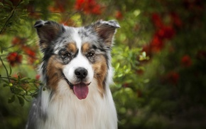 Wallpaper language, face, Australian shepherd, Aussie, look, dog