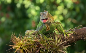 Picture lizard, iguana, green