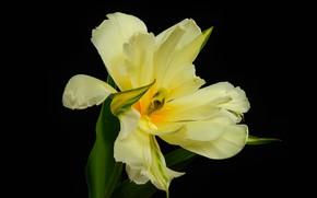 Picture macro, Tulip, petals