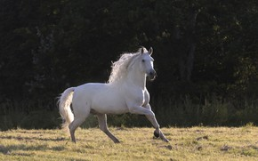 Picture white, summer, light, horse, horse, stallion, shadow, meadow, mane