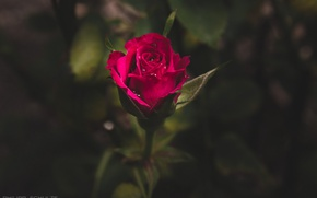 Picture drops, rose, Bud