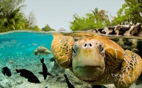 Picture Bora Bora, French Polynesia, green turtle