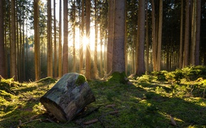 Picture forest, trees, moss, bumps, log, the rays of the sun