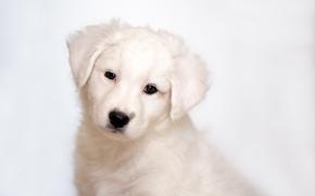 Picture puppy, Labrador, Retriever