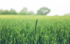 Picture greens, field, summer, ear, spike