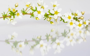 Picture reflection, branch, spring, petals, Spiraea