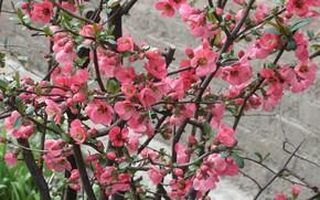 Picture flowers, Bush, quince, April, spring 2018, mamala ©