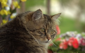Picture cat, look, face, Kote, kotofeich, he is a serious guy