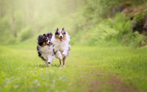 Picture nature, running, Dogs