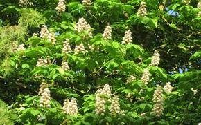 Picture tree, blooms, chestnut, spring 2018, Meduzanol ©