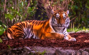Picture tiger, wild cat, handsome
