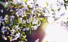 Picture nature, spring, the beauty of nature, flowers apricot