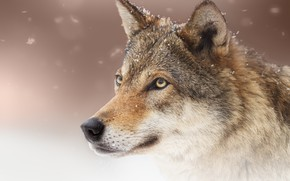 Picture face, snow, wolf, predator, wolf