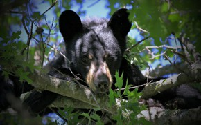 Picture look, branches, bear, face, on the tree, Baribal, Black bear