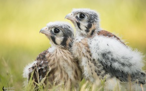 Picture birds, Chicks, Kestrel, by EdgedFeather