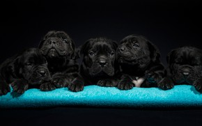 Picture dogs, puppies, kids, Cane Corso