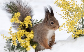 Picture winter, snow, protein, animal, Mimosa