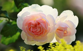 Picture leaves, gentle, two roses