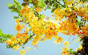 Picture the sky, yellow, acacia