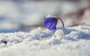 Picture macro, snow, spring, primrose