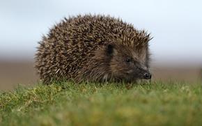 Picture barb, hedgehog, bokeh