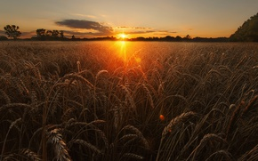 Picture wheat, field, the sky, the sun, light, nature