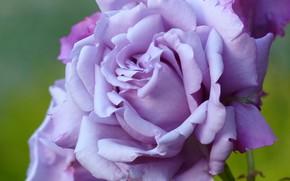 Picture macro, rose, petals, lilac