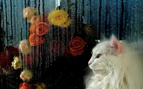 Picture cat, white, cat, look, glass, face, drops, flowers, the dark background, rain, mood, portrait, roses, …
