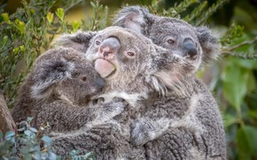 Picture trio, Koala, cute