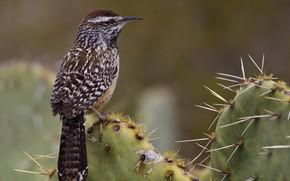 Picture bird, beak, tail, ordinary cactus Wren