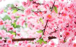 Picture flowers, branches, tree, Nature, spring, flowering