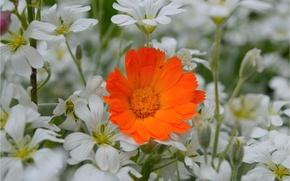 Picture Flowers, Calendula, Cerastium, Orange flower, Orange flower