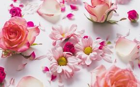 Picture Petals, Roses, Chrysanthemum