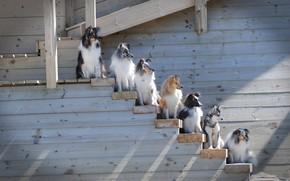 Picture Sheltie, Shetland Sheepdog, ladder, dogs, rank, The border collie, Alaskan Klee Kai