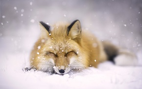 Picture winter, face, snow, Fox, red