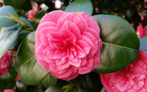 Picture flower, summer, leaves, Bush, flowering, Camellia