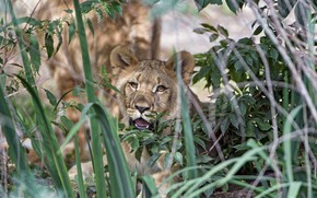 Picture grass, leaves, cub, lion