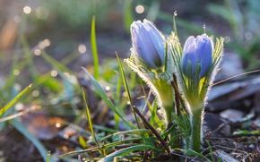 Wallpaper spring, anemone, sleep-grass